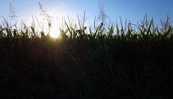El maíz en Chicago cortó una racha positiva de cinco ruedas consecutivas