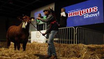Una firma paraguaya pagó $ 640.000 por una ternera Brangus