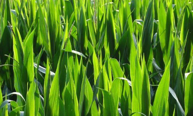 Es por mayor área sembrada de maíz y trigo.