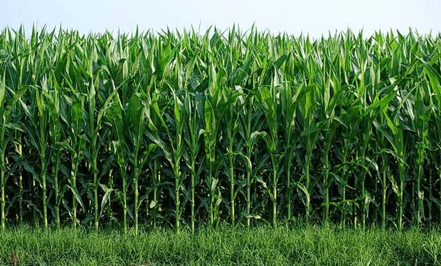 En caña de azúcar, Biozyme, el bio estimulante de Arysta, tiene un impacto más que positivo sobre el aumento de la productividad del cultivo.