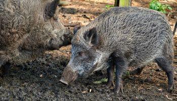 Peste Porcina Africana en Alemania: confirman siete nuevos casos y se desploma el precio interno