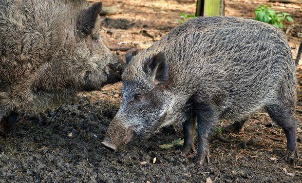 Ya son 13: detectaron 6 nuevos casos de Peste Porcina Africana en Alemania
