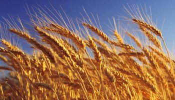 Ventaja del trigo: permite ahorrar más de la mitad del costo de financiamiento del doble cultivo