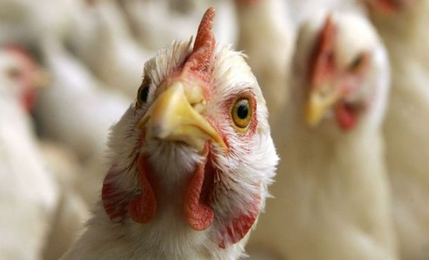 Importante foco de Gripe Aviar presiona las cotizaciones.