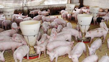 Creció en 2013 el sector porcino