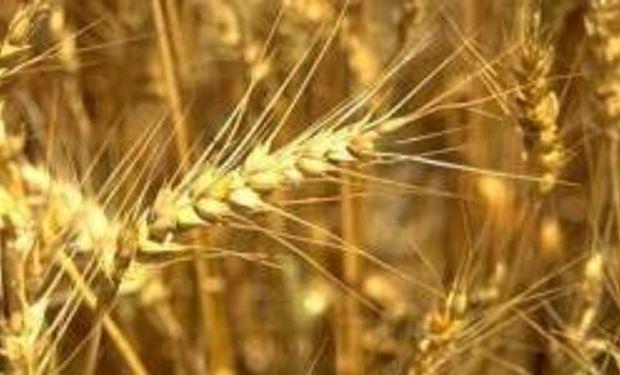 Otro máximo para el trigo local anticipa alzas en la harina y el pan