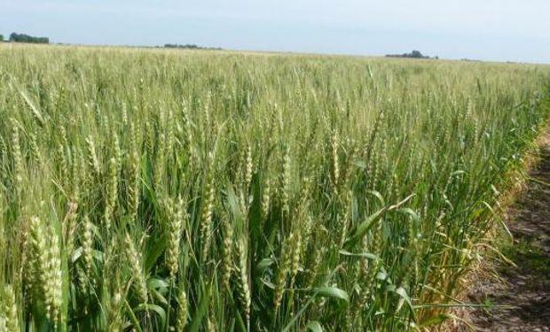 Bajan la estimación de área de trigo a 3,9 millones de hectareas