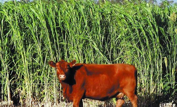 Se incrementa en la cuenca del Salado el uso de silajes de sorgo en sistemas ganaderos