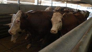 Uruguay: frigoríficos buscan bajar el precio del novillo