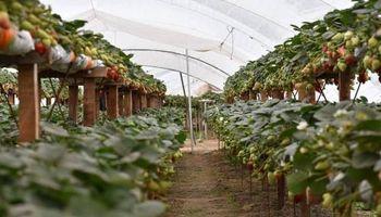 En Santa Fe, producen frutillas sin suelo con buenos resultados