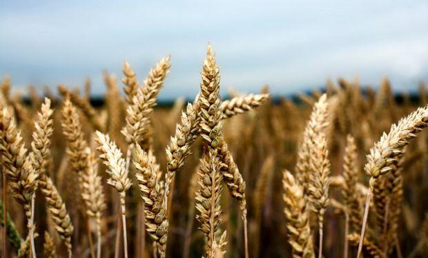 De acuerdo a estimaciones de las propias Bolsas, entre el 2008 y el 2014 la cadena de valor del trigo ha visto reducir su aporte al PBI del 2,5% al 1,9%.