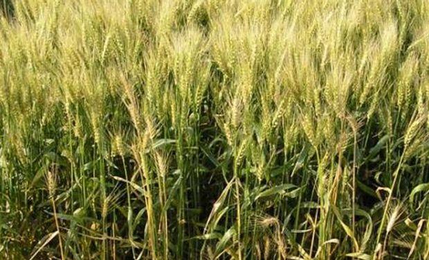 La fusariosis provoca mermas en el rinde del cultivo y en su calidad.