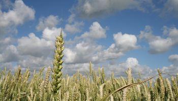 Solicitan el registro de una nueva semilla de trigo pan