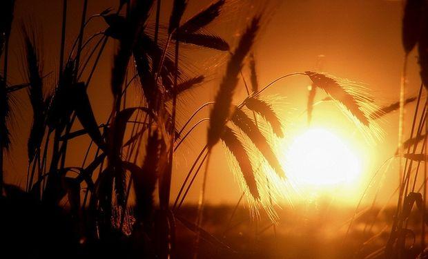 No se detienen las bajas para el trigo