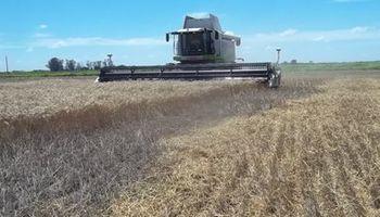 A paso firme avanza la cosecha de trigo