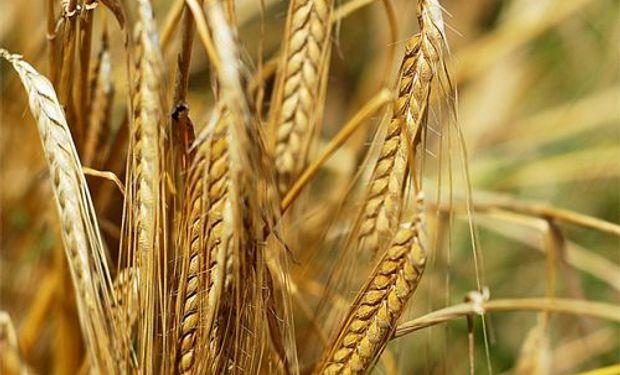 Avances en la devolución de las retenciones al trigo