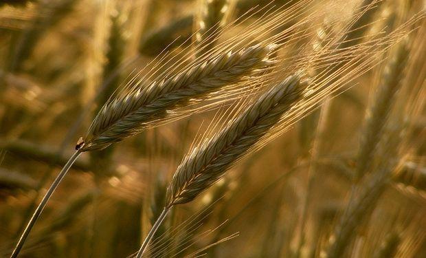 Subas para el trigo en la plaza local.