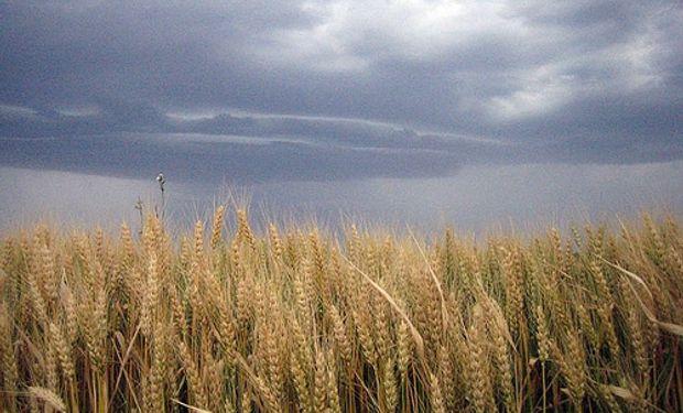 La caída del precio del cereal, las retenciones y la inflación impactan en la ecuación económica del productor de trigo argentino.
