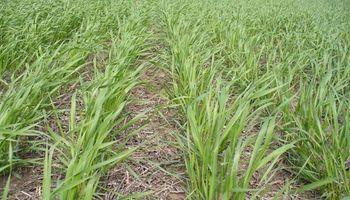 Elección de variedades, análisis de semillas y enfermedades recurrentes: 5 consejos para el manejo de trigo y cebada