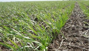Santa Fe: a pesar de la ausencia de lluvias, el 92% del trigo está en buen estado