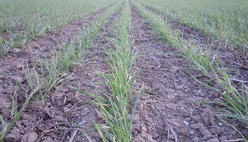 Entre Ríos apuesta al trigo con 400 mil hectáreas sembradas