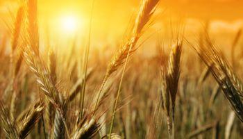 Trigo: aumentó la proyección de área sembrada