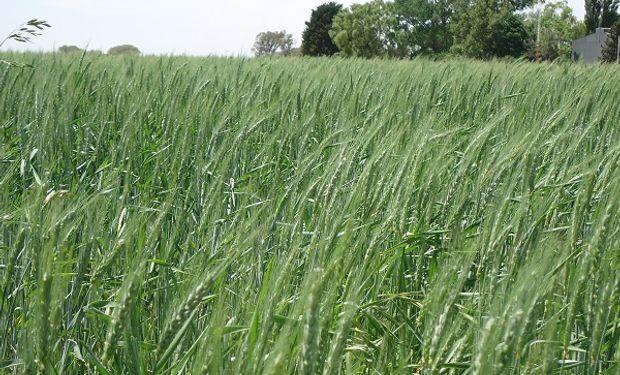 Además esta herramienta permitiría realizar pronósticos de daños y ajustar la fecha de floración del cultivo para alcanzar un mayor rendimiento.