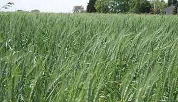 El calor pone en jaque al trigo y se podría adelantar la cosecha