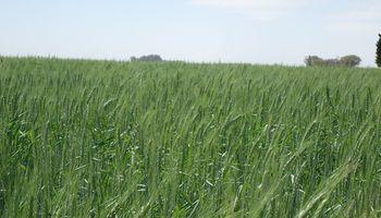 Solicitan la inscripción de una nueva variedad de trigo pan