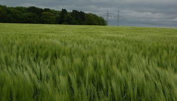 Las precipitaciones podrían generar mermas en los rindes de trigo