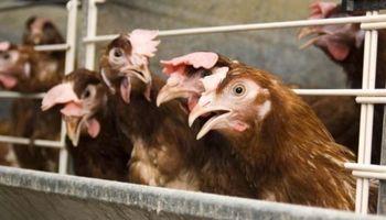 Planean sacrificar en Holanda a millones de gallinas