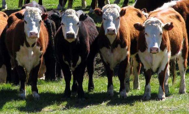 El objetivo es lograr de esta forma aumentar la producción de carne vía un incremento del peso de la res.