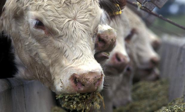 Cotizaciones del ganado gordo presionadas en Uruguay.