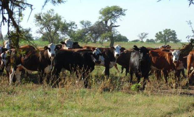 Para aumentar el número de terneros al año es necesario organizar el rodeo, planificar la oferta forrajera y hacer un buen manejo sanitario y reproductivo.