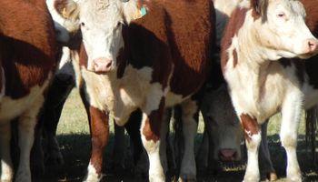Ganaderia en Uruguay: se afirman los precios del ganado gordo