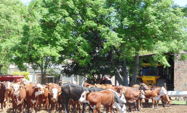 El rendimiento de indiferencia de la soja, a partir del cual iguala en términos de margen bruto a la actividad de la cría, es de 3.690 kg/ha