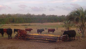 Aprovechan el descarte de cítricos para alimentar vacas