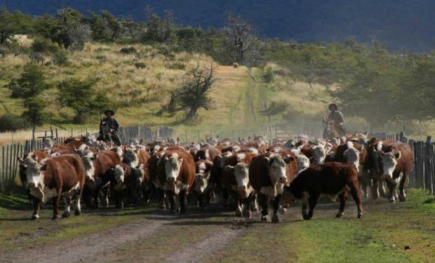 Lo que no ha recibido casi aumento es el precio de los vientres, cuesta vender una vaca preñada en $20.000.