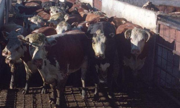 """El precio del ganado """"no para de bajar""""."""