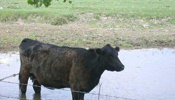 Más de 3 M de ganado vacuno en peligro