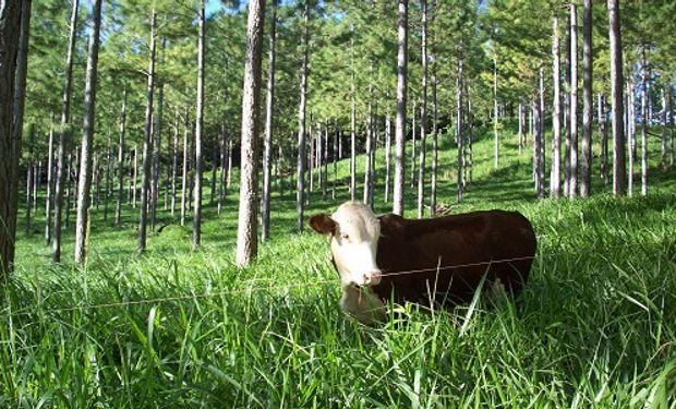 Ya sea con bosques cultivados o nativos, esta técnica se extiende en diversas zonas como una alternativa productiva.