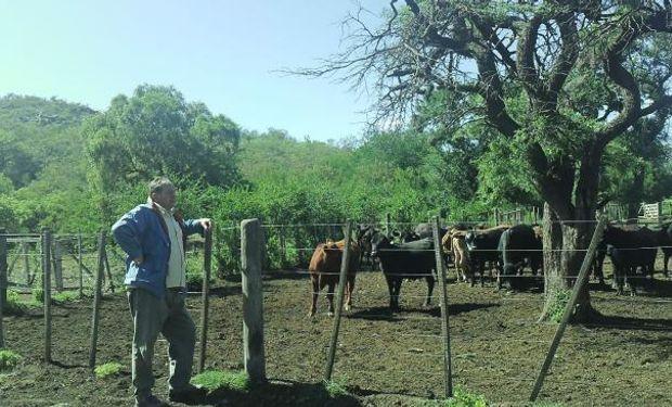 Ambrosino observa animales de recría recién traídos del monte, donde se alimentaron con gatton panic (La Voz).