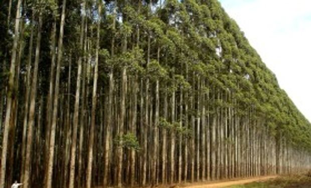 En Brasil lograron secuenciar el genoma completo del eucaliptus