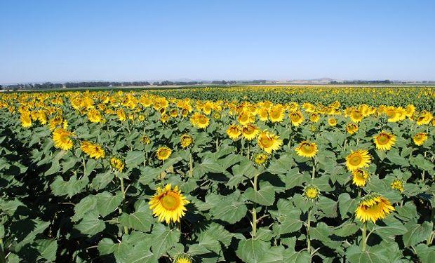 Girasol: los cinco factores detrás del crecimiento del 40% en la intención de siembra