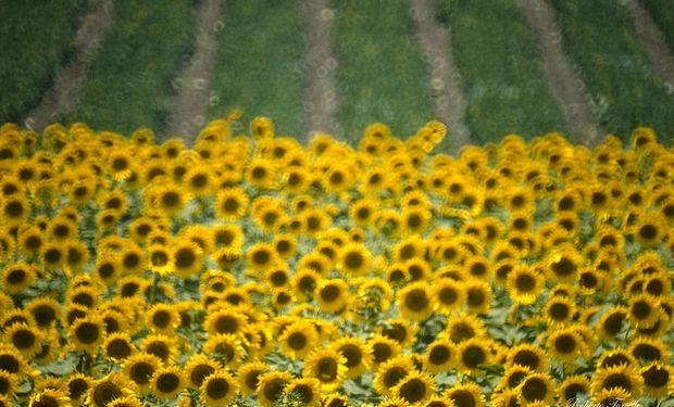 Crece el área sembrada con girasol en Santa Fe