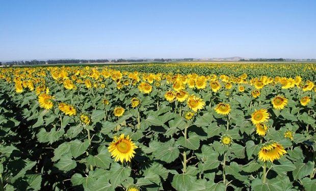 El sudoeste de la provincia incrementó la superficie sembrada un 15%.
