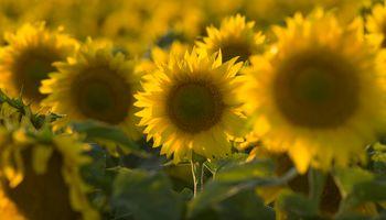 BASF lanza el nuevo herbicida Clearsol II Plus
