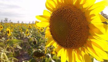 El girasol batió récord de producción en el centro norte santafesino