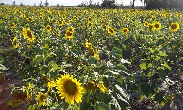 La precipitaciones caídas mejoraron la situación de los cultivos.