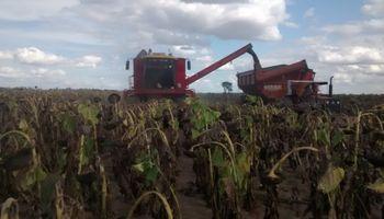 La cosecha de girasol genera buenas expectativas